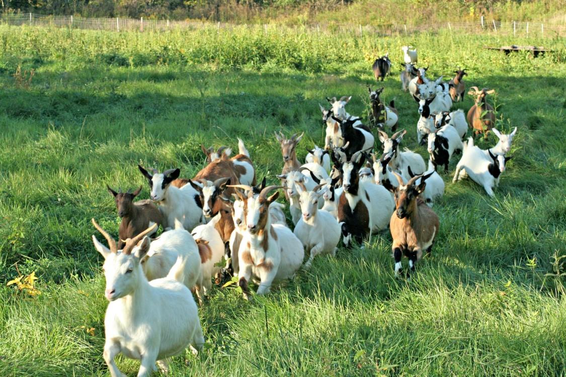 Goats-running-1125x750